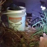 触発!?睨み合うネコの「ブチ」と「クロ」!
