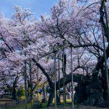 山高神代桜  in 2018年4月1日