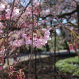 六義園のしだれ桜 in 19.03.21|東京桜ツアー2019