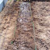 「早生枝豆」を植えた!|畑復活への道~