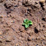 追加で植えたジャガイモも生えてきた!|畑復活への道~