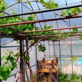 ブドウは順調、枝豆もスクスク、ジャガイモは・・・|畑復活への道~