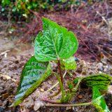 サツマイモ、いきなり大雨の試練!!|農作物への挑戦!