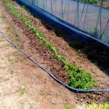 土の入れ替えとサツマイモの乾燥対策! 農作物への挑戦!
