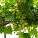 ブドウの粒が大きくなってきた|農作物への挑戦!