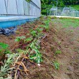 サツマイモ、順調かな|農作物への挑戦!