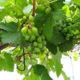 結局ブドウの手入れができそうにないが・・・|農作物への挑戦!