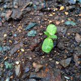 雨も降って順調な「ミニひまわり」|農作物への挑戦!