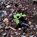 「ミニひまわり」の植え直し~②|農作物への挑戦!