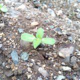 2、3日前に植えた「ミニひまわり」も発芽|農作物への挑戦!