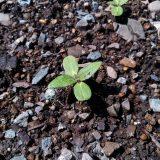 「ミニひまわり」全てが発芽・順調といかず。。|農作物への挑戦!