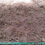 再三の植え直し「早生枝豆」|農作物への挑戦!