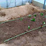 肥沃な土でイチゴを育てる!|農作物への挑戦!