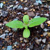 「ミニひまわり」開花まではまだまだ遠そう|農作物への挑戦!