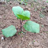 「ナス」「トウモロコシ」、とりあえず順調~ 農作物への挑戦!