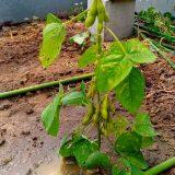 順調な畑風景:19.06.18|農作物への挑戦!