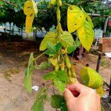 早生枝豆の収穫❕|農作物への挑戦!