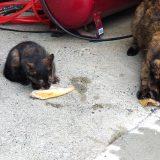 湯煎したサバを食べるネコ親子~:19.07.01