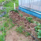 イノシシ襲来!サツマイモが被害に・・・|農作物への挑戦!