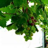 色付くブドウ、収穫の枝豆!|農作物への挑戦!