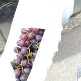ブドウ採取、そして外のサツマイモは全てイノシシのエサに・・・