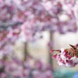 熱海桜と熱海梅園:2020年2月2日