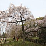 京都御苑のしだれ桜|京都桜ツアー2020