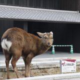 飢えてる?奈良公園の鹿たち|奈良周辺旅2020