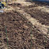 ジャガイモ、まだ芽がです。。<15日後>|畑仕事2020