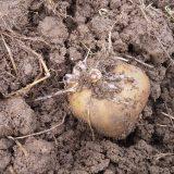 ジャガイモ、まだ芽がです。。<32日後>ちょっと掘り返すと・・・|畑仕事2020