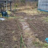 雨降る、ジャガイモ、まだ芽がです。。<45日後>|畑仕事2020