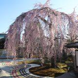 高台寺|京都桜ツアー2020