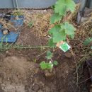 果樹育てへの道!ブルーベリー・シャインマスカット・サクランボ