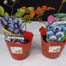 花壇にブルーベリー植えた!|ガーデニングの道!