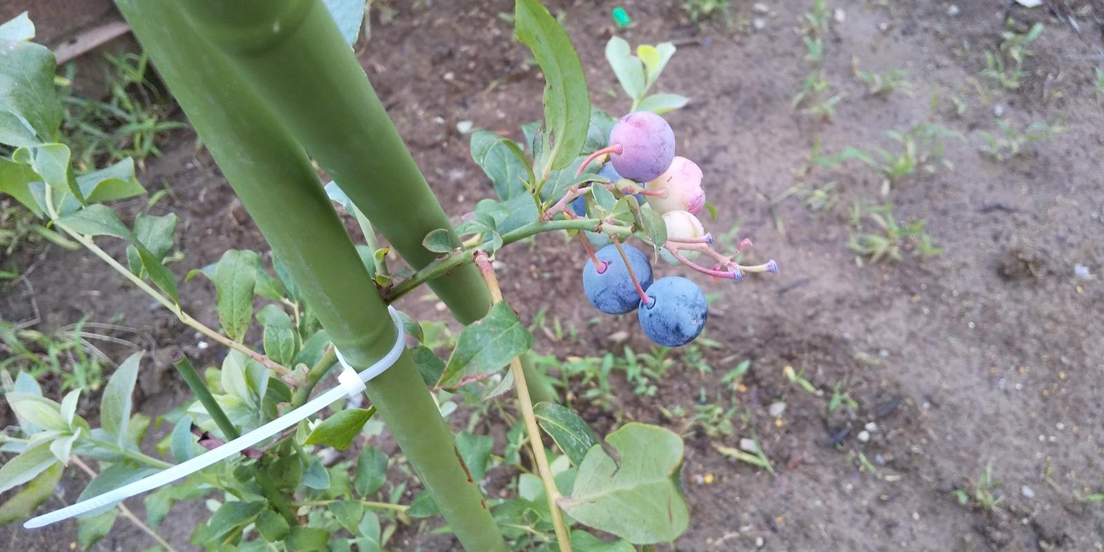 色づくブルーベリーの実   マサのライフワーク