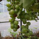 長く続いた大雨と日照不足によるブドウへの被害