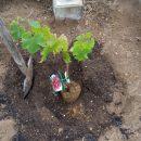 ぶどう「サニールージュ」を植えた!