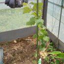 成長するブドウ!