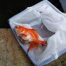 自粛期間に買った金魚、1匹死す・・・