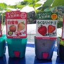 イチゴの苗を追加!③