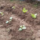 耕した畑に野菜を植えた!