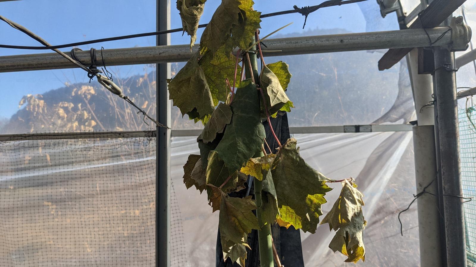 イチゴの移動と、シャインマスカットの落葉 | マサのライフワーク