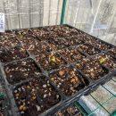 ビニール温室、ダイコン菜の芽がでてきた!
