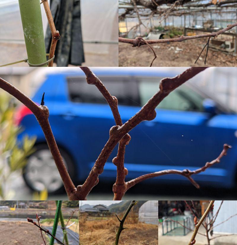 樹木の新芽チェック!:2021-1-23 | マサのライフワーク