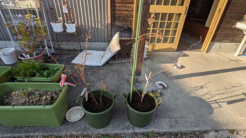 ラズベリーの移植と花壇を整地に
