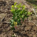 4本のレモンとライムの果樹を植えた!