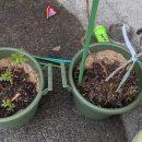 「ラズベリー」「イエローラズベリー」と「ブルーベリー」に油かすの肥料を施す!
