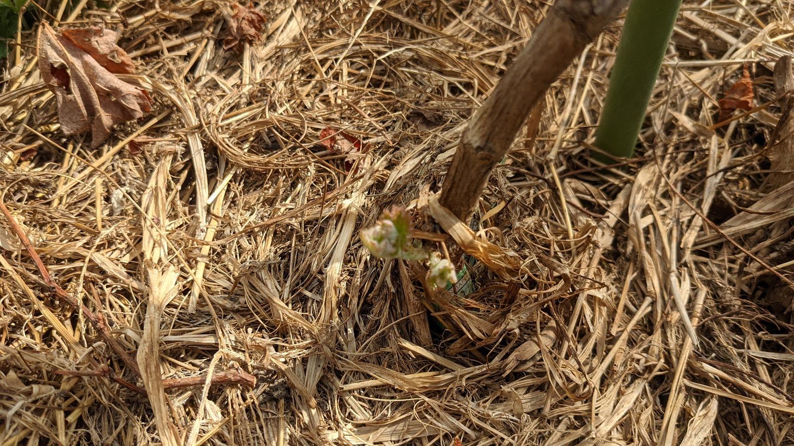 畑の様子2021年3月18日、シャインマスカットの新芽が出る! | マサのライフワーク