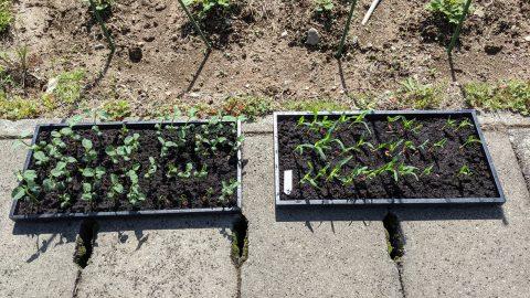 育苗床のゴールドラッシュと茶豆を植えた~