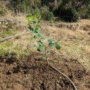 レモン・ポンテローザを畑に植えた!